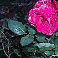 Roses in the rain...