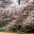 drive by cherry blossoms...