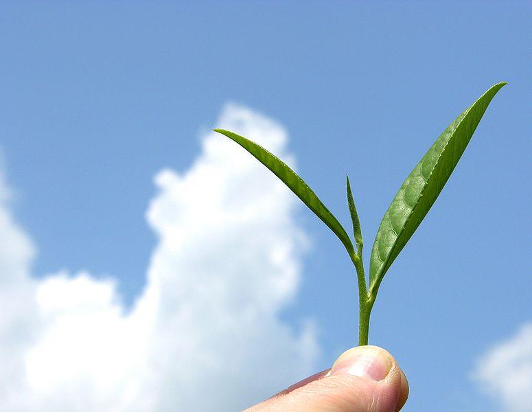 775px-Organic_mountain_grown_tea_leaf