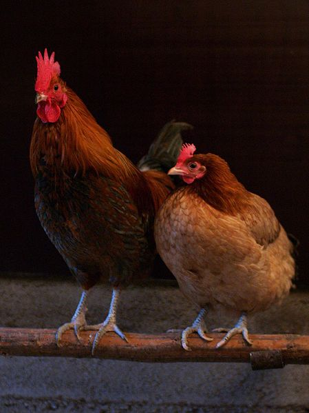 rooster_hen